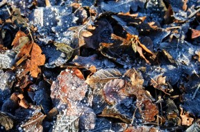 frosty-leaves