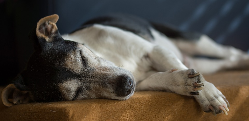 Jack Russell left exhausted after Cambridge University Students take him for too many walks